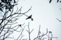 [自然教育園][鳥]ツグミ? @国立科学博物館付属自然教育園