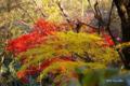 [自然教育園][紅葉]紅葉・黄葉 @国立科学博物館付属自然教育園
