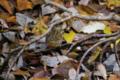[自然教育園][鳥]アオジ @国立科学博物館付属自然教育園