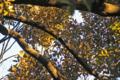 [自然教育園][鳥]コゲラ? @国立科学博物館付属自然教育園
