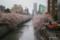 目黒川の桜 I