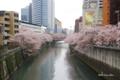 [花][桜][東京]目黒川の桜 II