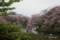 千鳥ヶ淵の桜 I