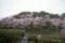 千鳥ヶ淵の桜 II