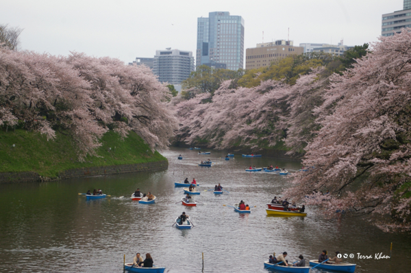 千鳥ヶ淵の桜 III