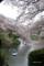 千鳥ヶ淵の桜 V