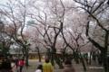 [花][桜][東京][靖国神社]靖国神社の桜 II