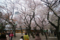 靖国神社の桜 II