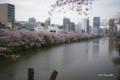 [花][桜][東京][外濠公園]外濠公園の桜 @新見附橋