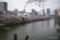 外濠公園の桜 @新見附橋