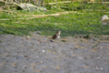 [鳥][東京港野鳥公園]ツグミ @東京港野鳥公園