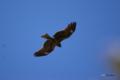 [鳥][東京港野鳥公園]トビ @東京港野鳥公園