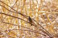 [鳥][東京港野鳥公園]ジョウビタキ♀ @東京港野鳥公園