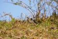[鳥][東京港野鳥公園]ムクドリ @東京港野鳥公園