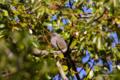 [鳥][東京港野鳥公園]ヒヨドリ @東京港野鳥公園