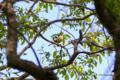 [鳥][ウトナイ湖][北海道]アオジ @ウトナイ湖