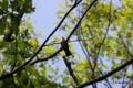 [鳥][ウトナイ湖][北海道]キビタキ @ウトナイ湖