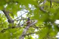 [鳥][ウトナイ湖][北海道]アカゲラ @ウトナイ湖