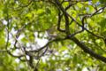 [鳥][ウトナイ湖][北海道]センダイムシクイ @ウトナイ湖
