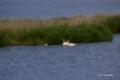 [鳥][ウトナイ湖][北海道]オオハクチョウの家族 @ウトナイ湖