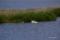 オオハクチョウの家族 @ウトナイ湖