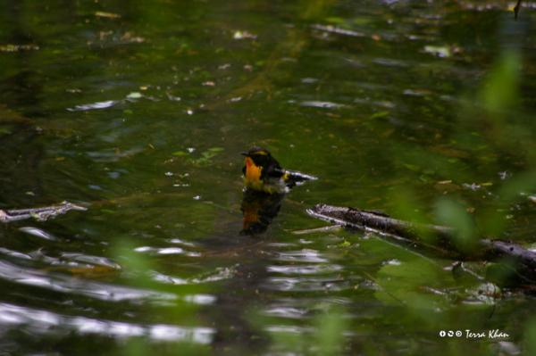 キビタキ @ウトナイ湖 「入浴なう。」