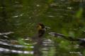[鳥][ウトナイ湖][北海道]キビタキ @ウトナイ湖 「入浴なう。」