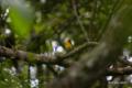 [鳥][ウトナイ湖][北海道]キビタキ @ウトナイ湖 「こっちみんな」