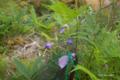 [北海道][アポイ岳][花]アポイキキョウ @アポイ岳高山植物再生実験地