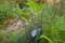 アポイキキョウ @アポイ岳高山植物再生実験地