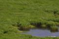 [北海道][釧路湿原][鳥]コッタロ湿原のタンチョウ