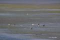 [北海道][野付半島][鳥][動物] 野付湾のゼニガタアザラシ