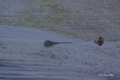 [北海道][野付半島][動物] 野付湾のゼニガタアザラシ
