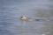 野付湾のゼニガタアザラシ