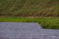 [北海道][知床][花]羅臼湖対岸のミズバショウ