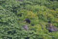 [北海道][知床][動物]ヒグマの親子 @知床半島 洋上より撮影