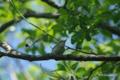 [北海道][鳥]センダイムシクイ @ウトナイ湖