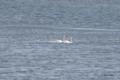 [北海道][鳥]オオハクチョウの家族 @ウトナイ湖