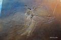 [国立科学博物館]始祖鳥(Archaeopteryx) サーモポリス標本(複製)