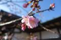 [静岡県][花][梅]五社神社・諏訪神社 梅の花