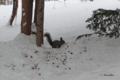 [北海道][動物][冬景色]エゾリス @上川神社