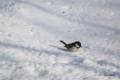 [北海道][冬景色][鳥][ウトナイ湖]シジュウカラ @ウトナイ湖