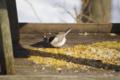 [北海道][冬景色][鳥][ウトナイ湖]餌台に来たハシブトガラ @ウトナイ湖