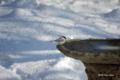 [北海道][冬景色][鳥][ウトナイ湖]水場のハシブトガラ @ウトナイ湖