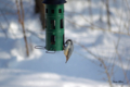 [北海道][冬景色][鳥][ウトナイ湖]餌を啄むゴジュウカラ @ウトナイ湖