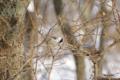 [北海道][冬景色][鳥][ウトナイ湖]コガラ @ウトナイ湖