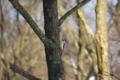 [北海道][冬景色][鳥][ウトナイ湖]アカゲラ(♂) @ウトナイ湖