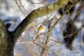 [北海道][冬景色][鳥][ウトナイ湖]アトリ @ウトナイ湖