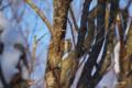 [北海道][冬景色][鳥][ウトナイ湖]コゲラ @ウトナイ湖