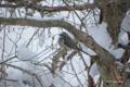 [北海道][冬景色][鳥][ウトナイ湖]ヒヨドリ @ウトナイ湖